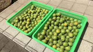 梅酢 梅ジュース 作り方 レシピ 材料