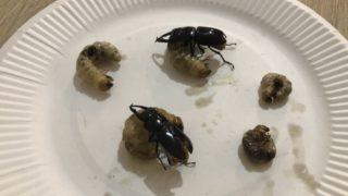 コクワガタ 幼虫 成虫 食べ方 味 レシピ 調理法
