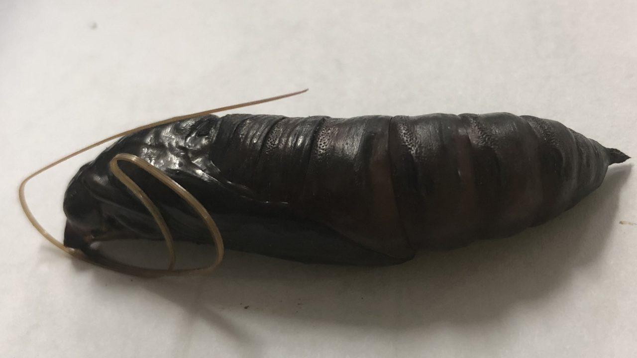 クロメンガタスズメ メンガタスズメ 蛹 食べ方 食べる 味